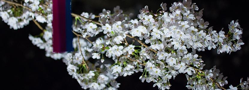 大岡川桜祭り