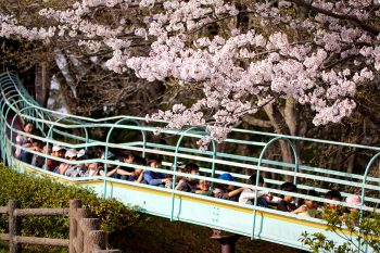 吾妻山公園の桜