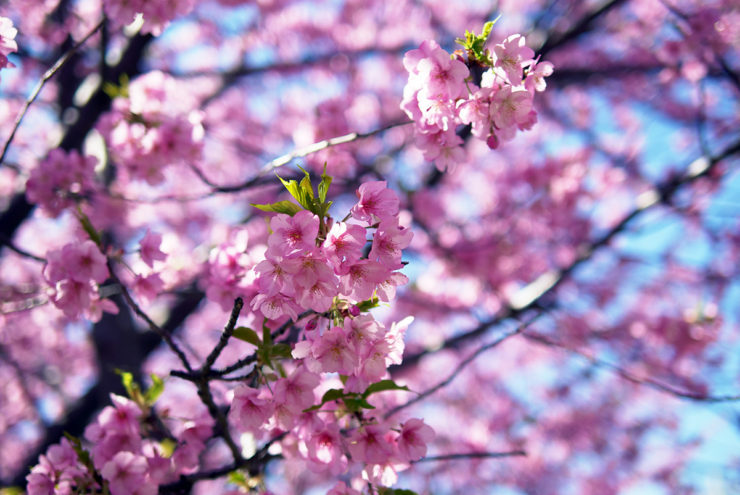 三浦海岸,河津桜